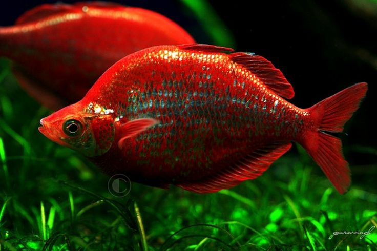 Red Rainbowfish Glossolepis Incisus These Are Large Possibly 7 8 Males Females Never Get Reddish And Are Har Aquarium Fish Freshwater Aquarium Fish Fish