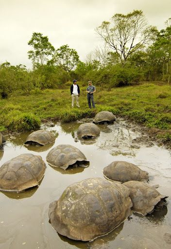 Giant Sea Tortoises in the Galapagos Islands!