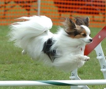 Right...next weekend I'm gonna teach Riley my papillion to do this right after he masters his fear of wet grass