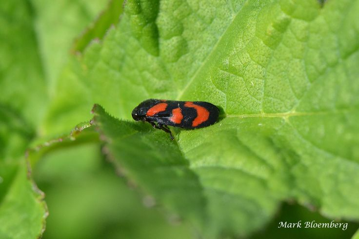 Black-and-red froghopper (Bloedcicade) - Cercopis vulnerata