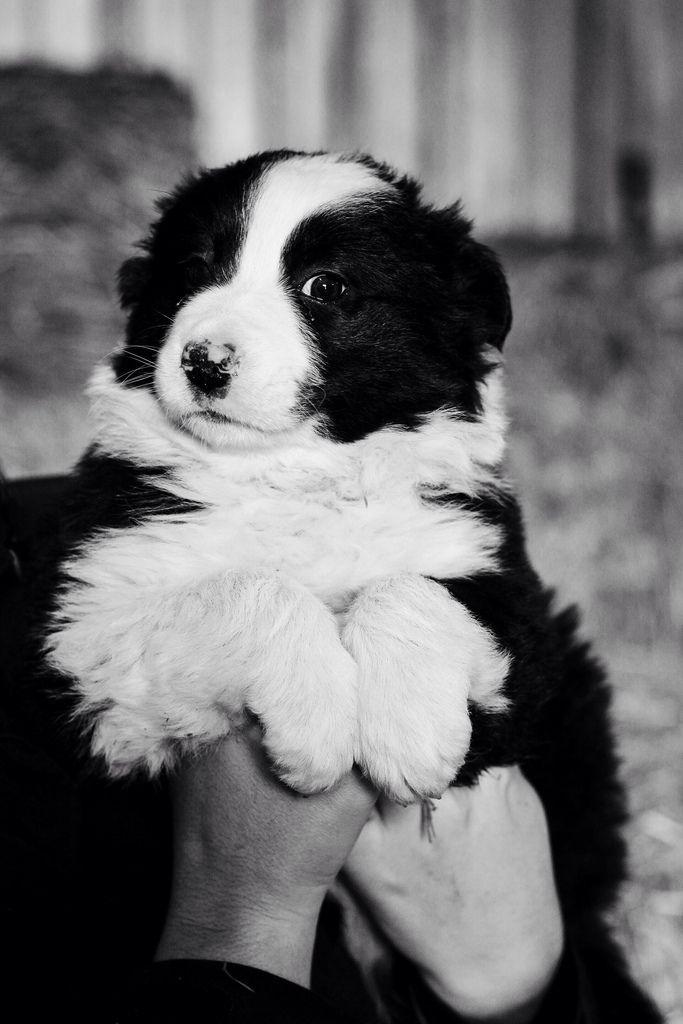 Border Collie puppy // Joy Felicity Jane