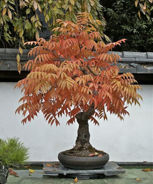 Japanese wax tree, Rhus succedanea, trained by Hiroshi Takeyama, Fuyo-en Bonsai Garden, Omiya Bonsai Village, Japan