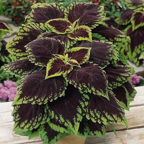 Maroon Garden Ideas: KONG SCARLET Coleus Seeds Kong Scarlet Coleus Leaves Are