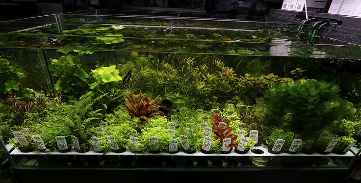 17 Best Images About Aquascape Plants I Need To Try On