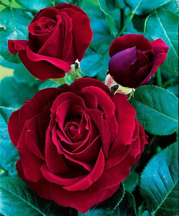 black magic roses pictures - Bing Images | Flowers, Black ...
