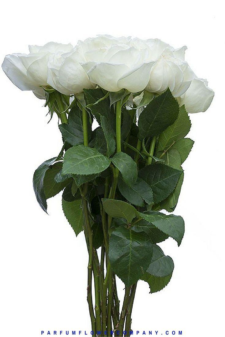 Жанна Моро Роуз, также известный как Белый Perfumella розы.  Meilland Jardin и др Парфюмированная коллекция 010
