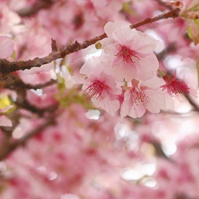 【ha_o_to】さんのInstagramをピンしています。 《皆様こんばんは ・ 今日は急な用事で山に行けなくなってしまったので、急遽新松田の桜まつりにフラッと足を運んできました ・ 先週、高松山の帰りに知るも、ガチ登山装備だとアウェー感がハンパないので止めましたが、まさかの2週連続で同じ駅に 笑 ・ 完全に、新松田ピーポーと化した僕です ・ 一足早く、皆様に桜の訪れをお届けしますね ・ ・ あ、それと 帰りに初 #AFURI 行ってきました ・ 女子に絶大な人気を誇るオシャレ過ぎるラーメン屋 ・ 噂は聞いていたものの 中々機会がなくて今回ようやく ・ 長野ピーポーのミナミさん @m73th55114がpostしてたので ・ 東京ピーポーの僕が行ってないなんて 完全にエセ東京人と言われるので行ってきました ・ てか、完全に飯テロでやられましたw ・ ・ それではご覧下さい ・ -オモポジ番外編- 『アフる涙のフォーリンラブ』 ・ ・ お店は、外観からして完全にオシャレなカフェ ・ 白とシルバーを基調とした店内はラーメン屋である事を疑いたくなる ・…