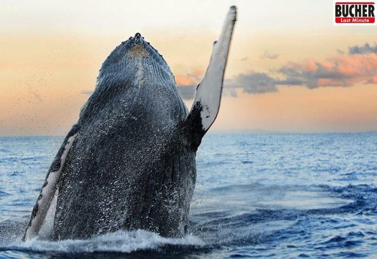 Sie sind treue Urlaubsgäste in der Dominikanischen Republik und bilden damit eine einzigartige Attraktion in der Bucht von Samana. Wer noch nie zum Whale Watching dort war, muss das auf jeden Fall nachholen! Für die Gänsehaut sorgt ihr - für den ruhigen Teil des Urlaubs www.bucher-reisen.de #actionurlaub #bucherreisen #whalewatching #domrep #dominikanische republik   B-)