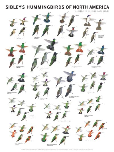 Sibley's Hummingbirds of North America Wall Poster