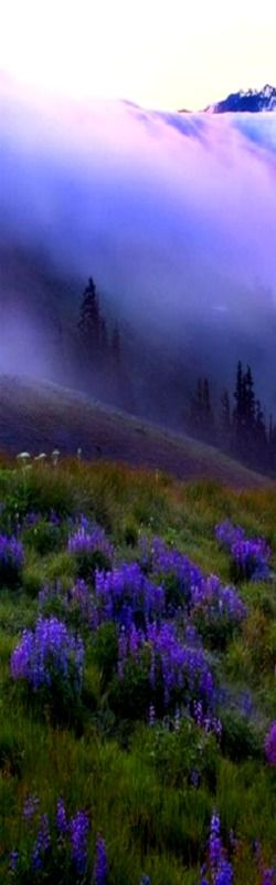 Purple dream: Purple Haze over Hurricane Ridge ~ Olympic Mountains, Washington