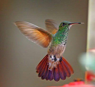 Berylline Hummingbirds