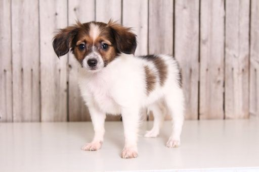 Papillon puppy for sale in MOUNT VERNON, OH. ADN-42673 on PuppyFinder.com Gender: Male. Age: 10 Weeks Old