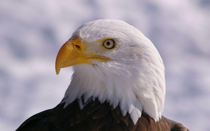 Белоголовый орлан: 21 тыс изображений найдено в Яндекс.Картинках