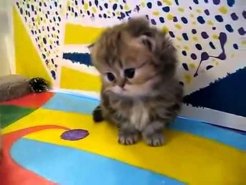 Офигенные КОТЯТА!!! Маленькие пушистые персидские котята!!! - YouTube