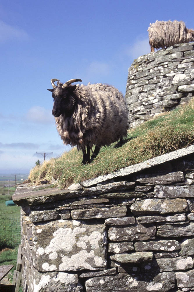 A sheep on the roof of Corrigal Farm Museum, Harray, Orkney. They are taking good care to preserve some of the old rare sheep breeds in Scotland and on the islands.