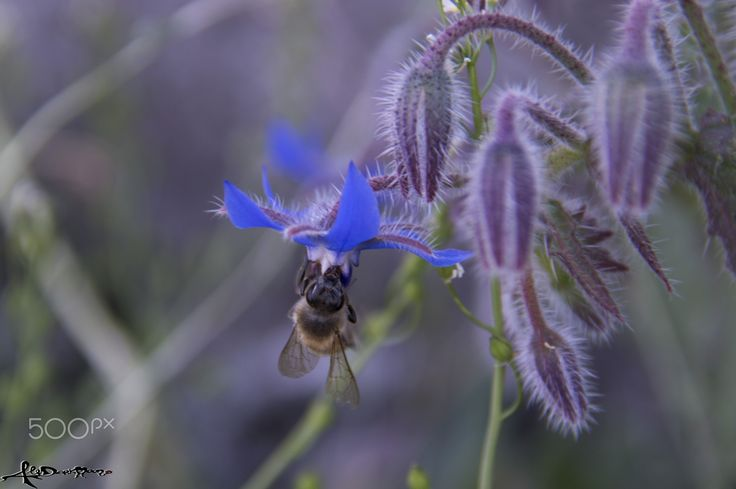 Bee and borage - Spring time in the countryside.. bee on a borage flower