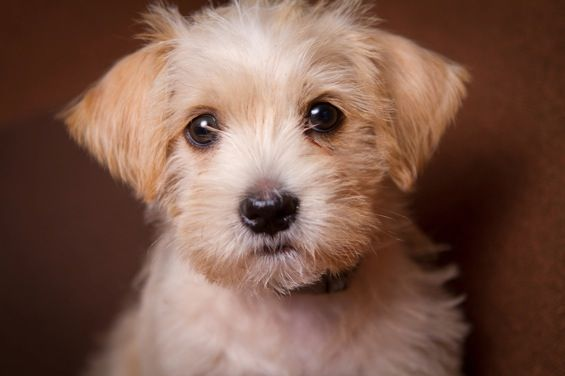 maltese mixed with poodle 17 best ideas about maltese poodle on pinterest maltipoo 9082