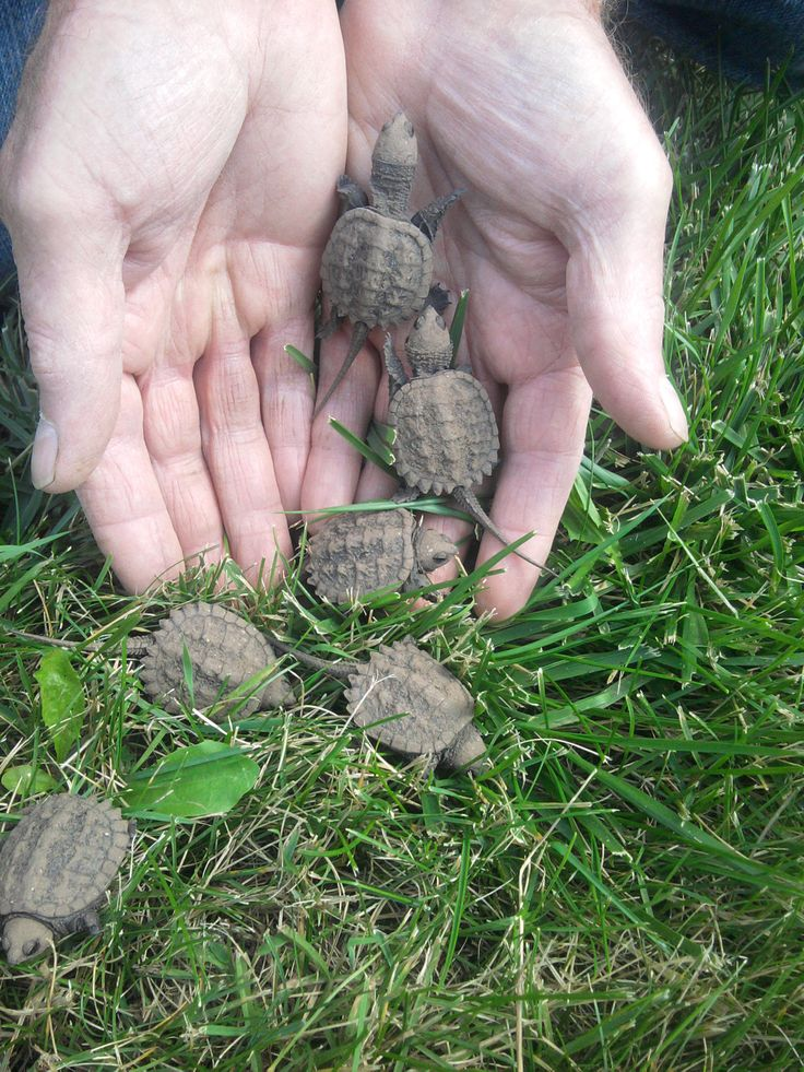 Some baby snapping turtles that were found at the Wild Center.