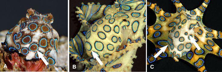 Variable ring patterns on mantles of the blue-ringed octopus Hapalochlaena lunulata - Greater blue-ringed octopus - Wikipedia, the free encyclopedia