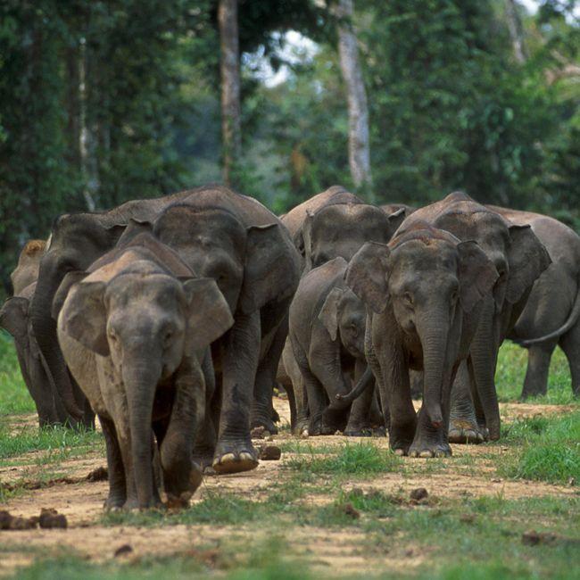 Borneo Pygmy Elephants - Location: Borneo and Sumatra, Population Approximately 1,500 (Conservation status (EN) Endangered)