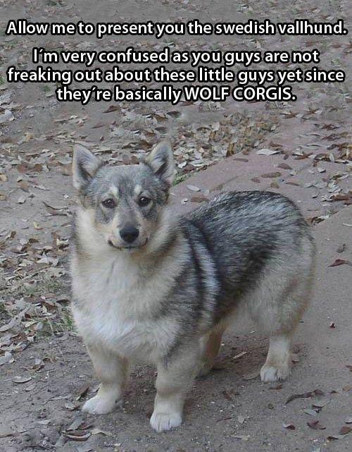 Meet The Swedish Vallhund