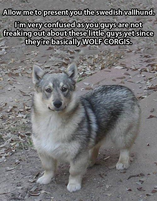 Meet The Swedish Vallhund OMG YOU GUYS THIS IS A REAL THING IN THE WORLD BUY ME A WOLF CORGI PLEASE OK THANKS.