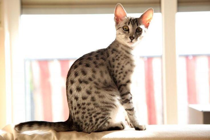 Egyptian Mau Kitten | Cattery van de Schooiertjes | The Netherlands