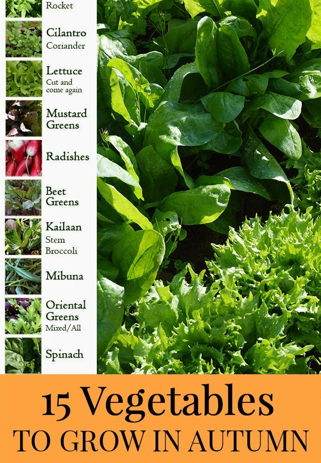 15 Vegetables you can Grow in Autumn - in the garden or pots. List includes spinach, kailaan, radishes, beet greens and more!
