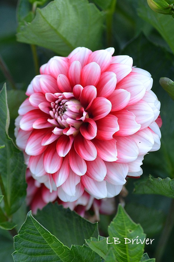 ~~Dahlia at Port Gamble by LB Driver | a view from the laundry pile~~