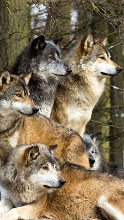 Wolves among the pines...