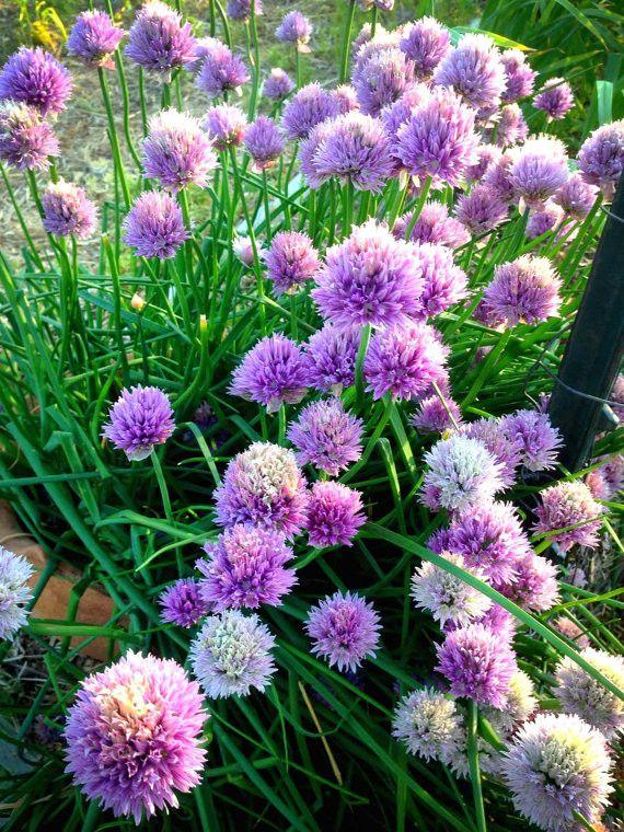 Chive Seeds Allium schoenoprasum Perennial Herb Garden Organic Chives Great for Bee Friendly Gardens