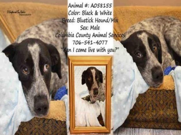 Bluetick Coonhound M A058155 in Appling, GA Columbia