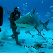 Buceo con Tiburón Toro Playa del Carmen – PepeDiveCenter
