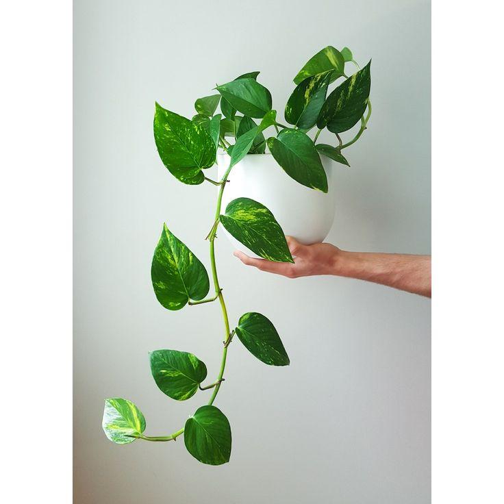25 best ideas about golden pothos on pinterest golden pothos plant pothos plant and plants - Indoor plants that require little care ...
