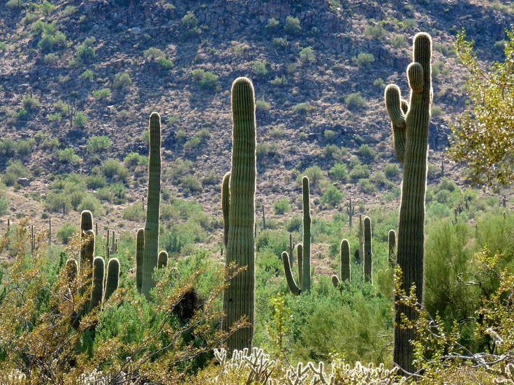 White_Tank_Mountains_Regional_Park_-_Closeup_Cactuses_-_60144.JPG 3648×2736 pixels: Desert Wedding, Mountains, 3648 2736 Pixels, Engagement Photos, Beautiful Places, Competitive Loop, Arizona Favorite, Tank