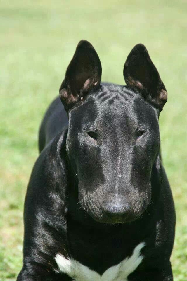 All I can say is WOW !!!!! I only like white bull terriers but this guy is real nice