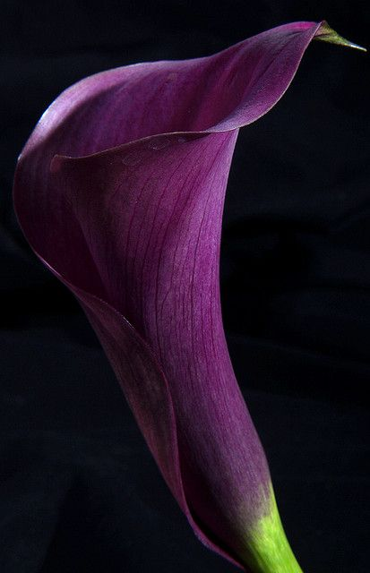 Purple Lily   Flickr - Photo Sharing!