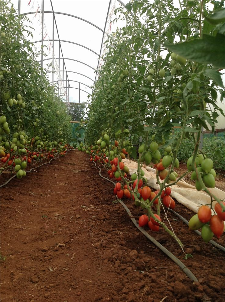 Som's tomatoes at Bago