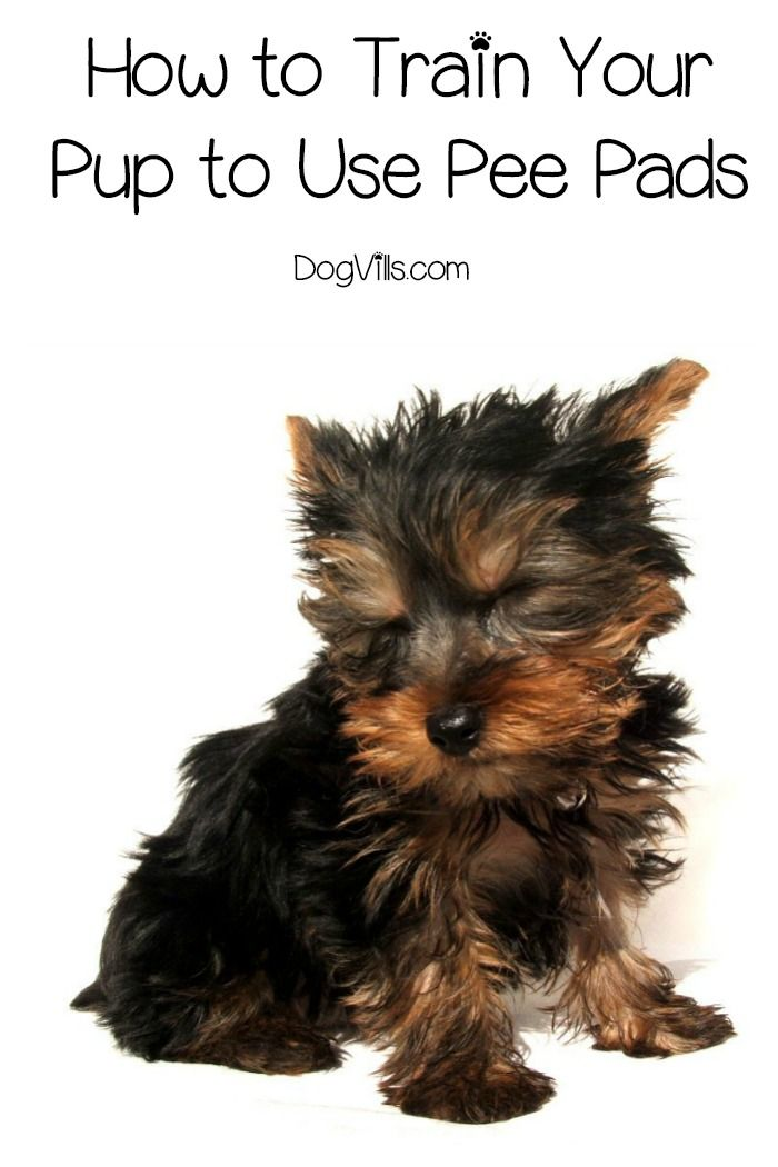 How To Train Your Pup To Use Pee Pads Dog Training Tips