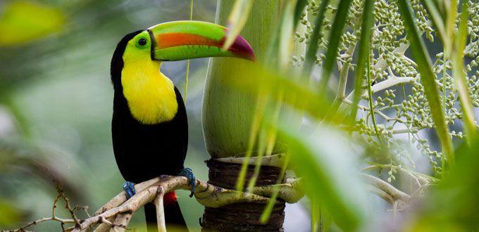 ベリーズの熱帯雨林にはオオハシの姿も。