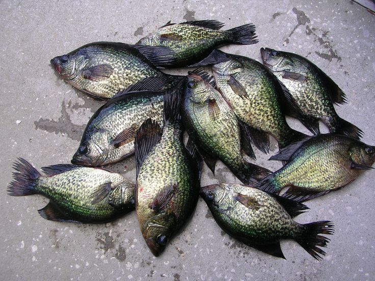 17 best images about fishing on pinterest fishing boats for Crappie fish facts