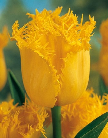 Hamilton  Tulips  Tulipa  Tulpen en Vlinders