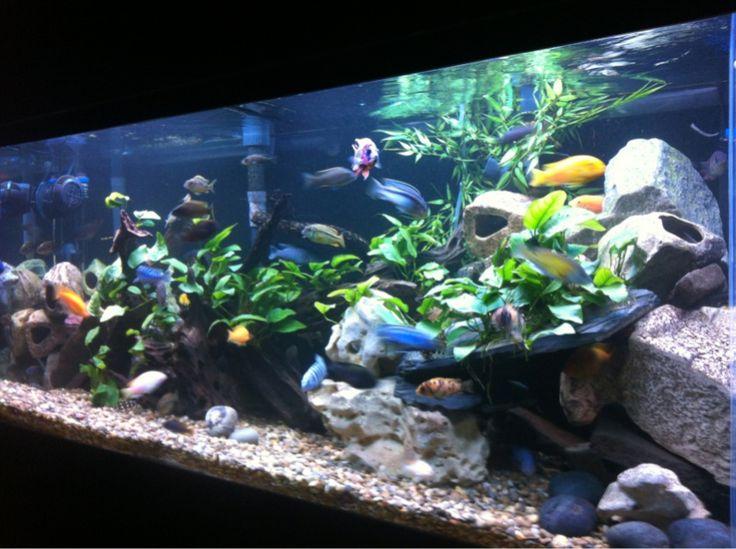 14 besten Fish Tank Bilder auf Pinterest   Aquarien, Cichlid ...