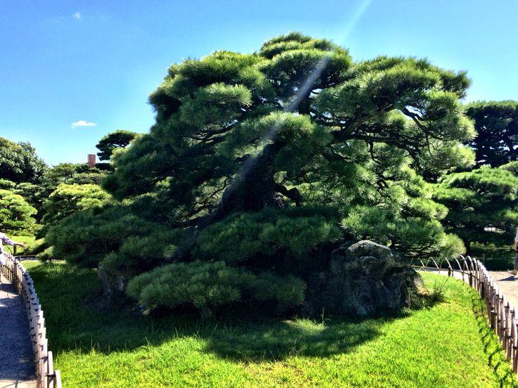 香川 栗林公園の松