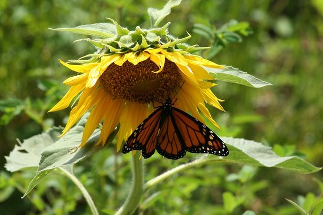 Sunflower field by trey.heath, via Flickr