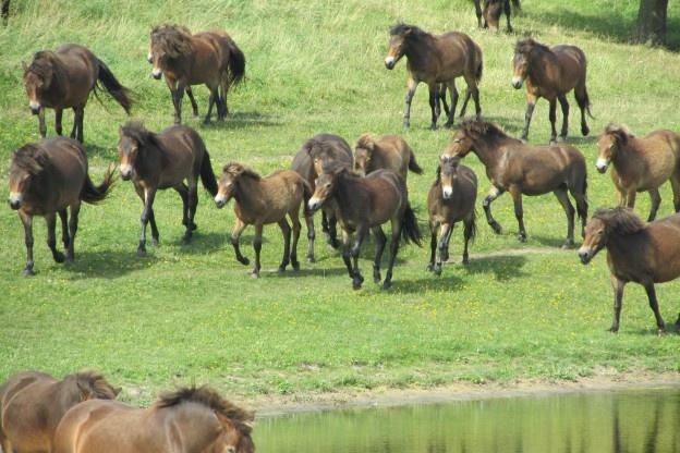 Vilde heste i Bagenkop