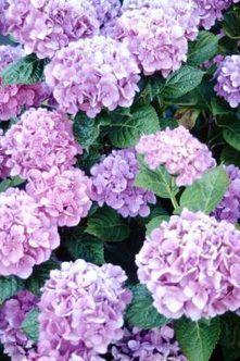 Homemade Fertilizer for a Hydrangea Bush