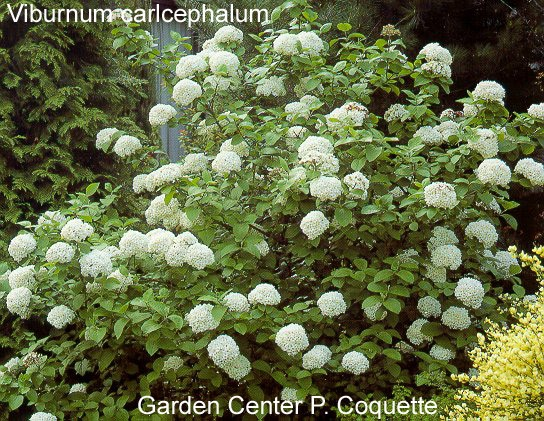 """vibernum 