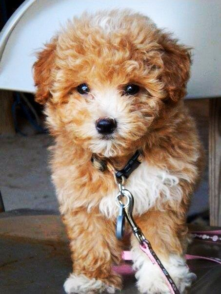Maltipoo. Yep I think it's gonna be the one for Dasher ...