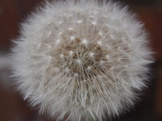 Some weeding needs to be done in the garden - dandelion by Sylvia Nevistic, via Flickr